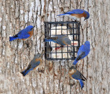 Eastern Bluebirds - Sialia sialis