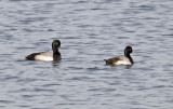 Greater Scaup - Aythya marila & Lesser Scaup - Aythya affinis (males)