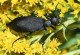 Black Blister Beetle - Epicauta pennsylvanica