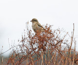 \Northern Shrike - Lanius excubitor (immature)