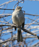 Northern Mockingbird - Mimus polyglottos (immature)