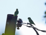 Green-rumped Parrotlet - Forpus passerinus