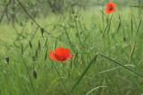 Oats  Poppies 0703.jpg