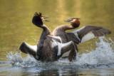 Grebes fighting - Tilgate Lake UK