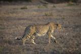 Cheetah hunting - Sabi sands South Africa