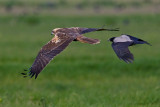 Marsh Harrier (Circus aeruginosus)