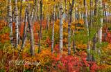 * 109.5 - North Shore Autumn Birches