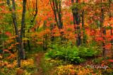 ** 86.4 - Sawtooth Mountains:  Superior Hiking Trail With Ferns, Autumn
