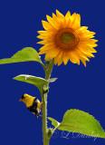 ** 302 - Summer Goldfinch On Sunflower:  Blue background