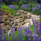 * 111.7 - Lupines Alongside A Stream