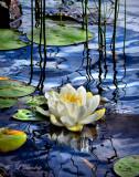 ** 258 - White Pond Lily, Crescent Lake