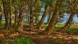** 48.1 - Cascade River State Park:  Lakeshore Cedars (HDR)