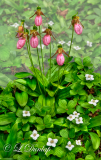 * 217.3 - Pink Lady Slippers and Canadian Dogwood