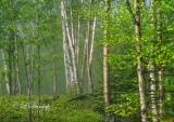 * 76.2 Schroeder:  Last Creek -- Spring Birches
