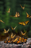 718 - Wildlife:  Swarming Tiger Swallowtails By Baptism River