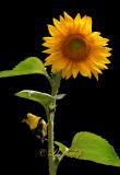 ** 302.1 - Summer Goldfinch On Sunflower:  Black Background