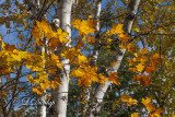 85.2 - Sawtooth:  Birches And Autumn Maples