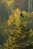 721 - Wildlife:  Bald Eagle