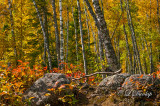 42.63 - Split Rock Lighthouse Birch Woods In Autumn