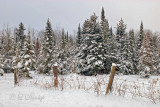 58.2 - Winter: Snow-Covered Firs With Fence 2013