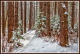 * 58.8 - Winter: Snowy Red Pine Woods