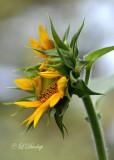 260 - Botanical:  Sunflower Opening
