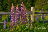 Botanical: Lupines By Country Fence