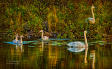 720 - Swan Family On Baptism River