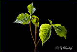 211 - Jack-In-The-Pulpit Horizontal