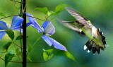 * 301 - Clematis And Female Ruby-Throated Hummingbird