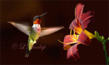 ** 300 - Ruby Throated Hummingbird And Red Daylily