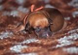 pup 5 orange - black nose male, ridgeless