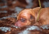 pup 10 olive - liver male