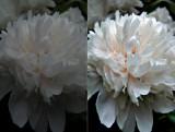 White flower_dual.jpg