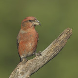 Kruisbek/Red Crossbill