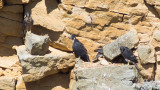 Four Peregrine young ready to fledge