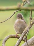 Whitethroat juvenile