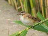Sedge Warbler juvenile