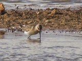 Curlew Sandpiper (long distance )