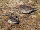 Redshank and Purple Sandpiper