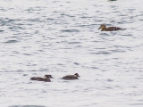 Common Scoters and an Eider duck