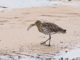 Curlew with small Dab