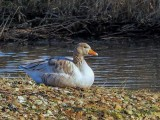 Leucistic Greylag goose