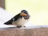 Swallow juv