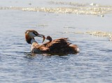 Great Crested Grebe.jpeg