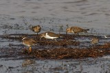 Common Sandpiper, Dunlin, Ringed Plover and Little Stint.jpeg