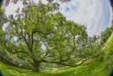 377, The Bedford Oak