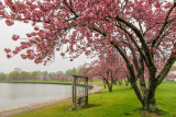 439, Cherry Blossoms, Mamaroneck