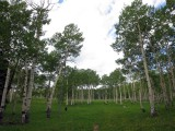 Aspen on the Uncompahgre plateau, Colorado