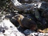 Maroon Bells, Snowmass marmot